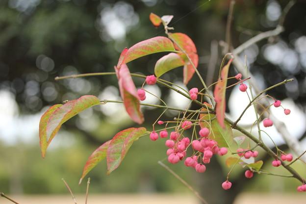 マユミ・・竹林園