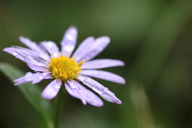 紫苑 (しおん)?