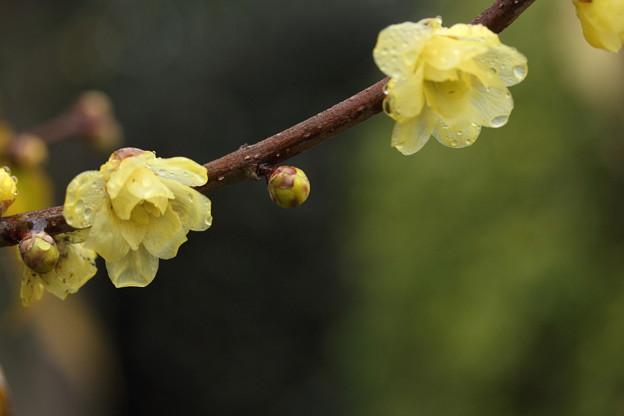 蝋梅がだいぶん咲いてきた・・竹林園