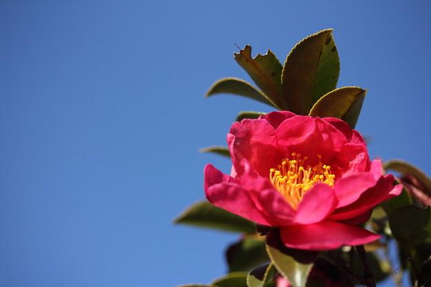 青空の下山茶花