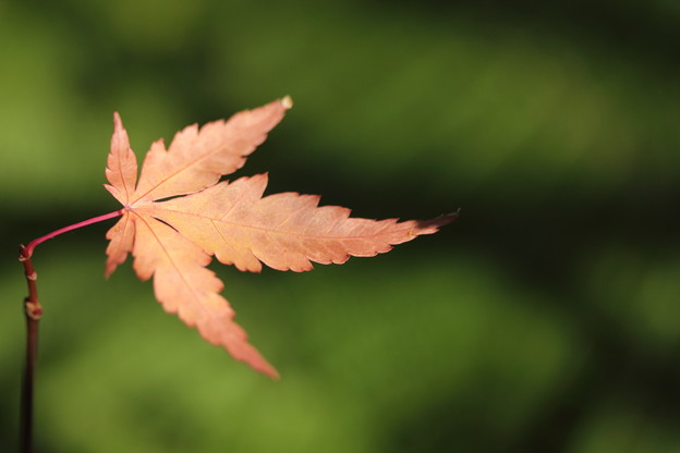 ちいさい紅葉