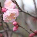 咲き出した近所の梅