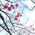 紅梅は2、3分咲き