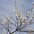 写真: 白梅はほぼ満開・・梅林園
