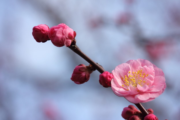 写真: 梅・・竹林園