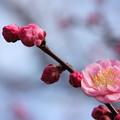 Photos: 梅・・竹林園