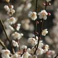 梅が満開・・竹林園