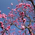 もうすぐ満開の梅・・竹林園