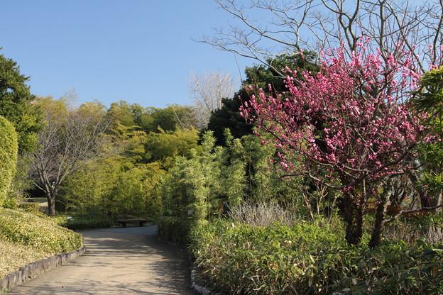 Photos: 竹林園の梅