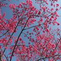 春は近い寒緋桜・・エコパーク