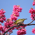 寒緋桜とメジロ・・エコパーク
