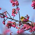 Photos: 寒緋桜とメジロ・・エコパーク