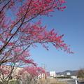 Photos: 寒緋桜・・エコパーク