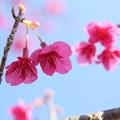 寒緋桜・・エコパーク