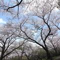 中尾山の登山道の桜