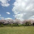 中尾山の桜