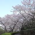 中尾山の登山道の桜(下り側)