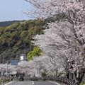 Photos: 桜満開・・水俣川川岸