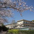 Photos: 桜満開・・入学式はこうありたい