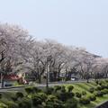 桜満開・・水俣川川岸・幸橋から
