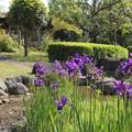 菖蒲・・竹林園