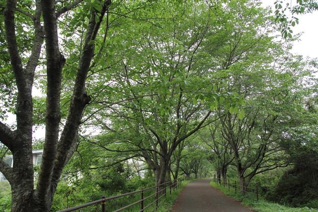 桜の新緑・・遊歩道