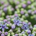 Photos: 紫陽花の花が咲く・・竹林園