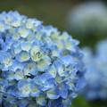 Photos: 紫陽花が色付く・・竹林園
