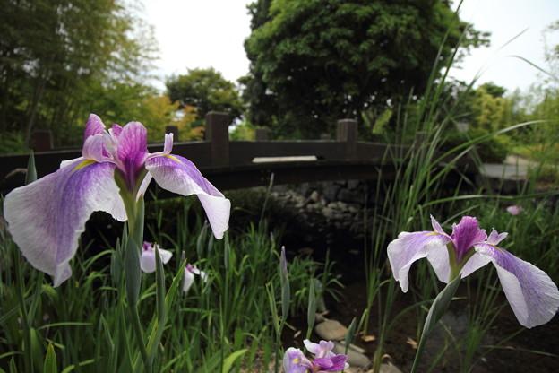Photos: 花菖蒲・・竹林園