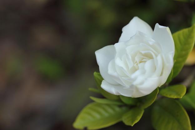 いい香りくちなしの花