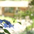 紫陽花・・竹林園