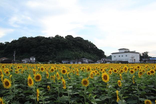 ひまわり畑・・塩浜