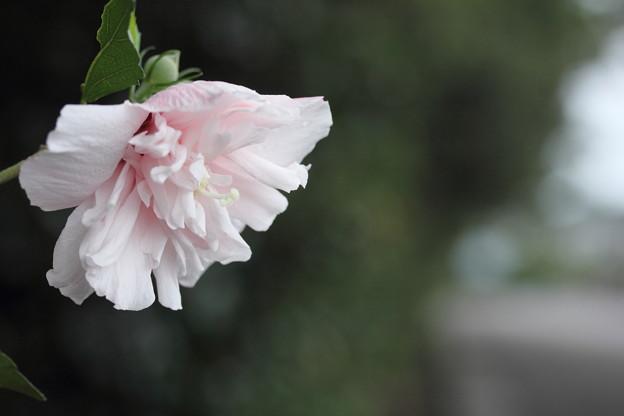 木槿(むくげ)