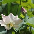 花びらが白くなってきた