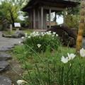 Photos: 玉簾 (たますだれ)咲き出す