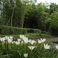 Photos: 玉簾 (たますだれ)・・竹林園