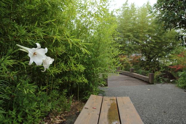 Photos: 高砂百合・・竹林園