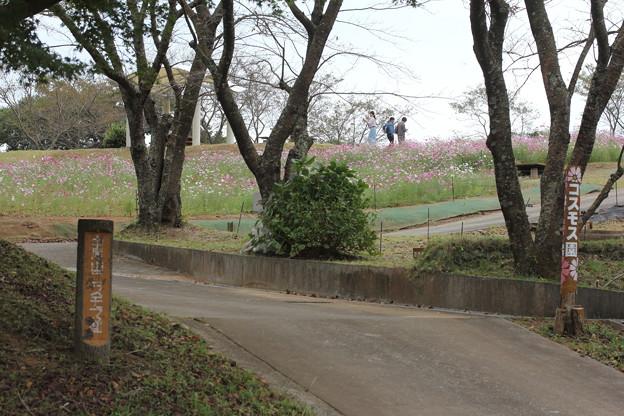 中尾山コスモス園