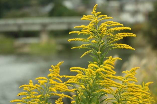 背高泡立ち草・・水俣川