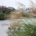 Photos: ススキ・・水俣川