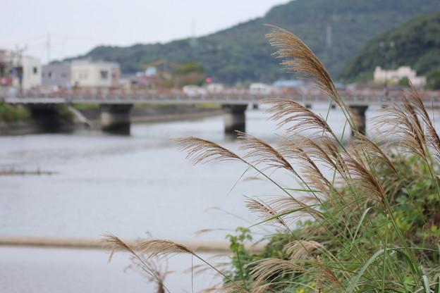 ススキ・・水俣川