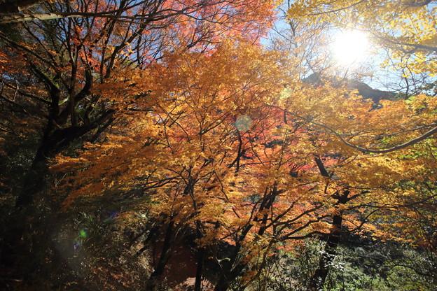 日差しを浴びる紅葉