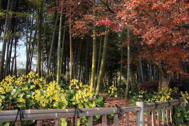紅葉散りツワブキ満開・・竹林園
