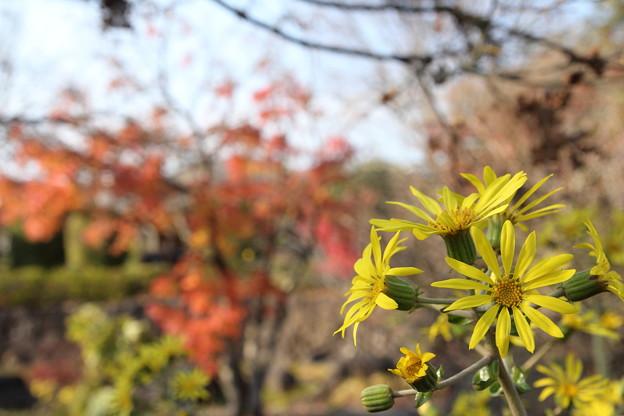 ツワブキと紅葉・・竹林園