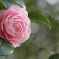 Photos: 乙女椿・・今年はきれいな花を探せない