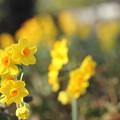 Photos: 黄色の水仙が満開