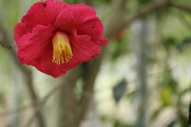 椿の花は枯れやすい