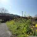 菜の花・・小崎公園