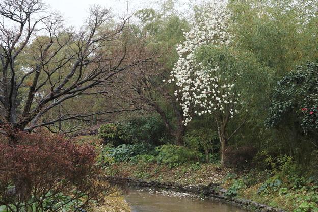白木蓮が満開・・竹林園
