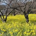 中尾山の菜の花